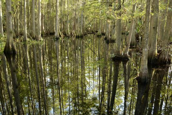 Sebring, FL: Boardwalk through hardwood swamp, Highlands Hammock