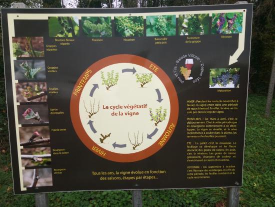 Charge, Francia: Cycle de vie des vignes
