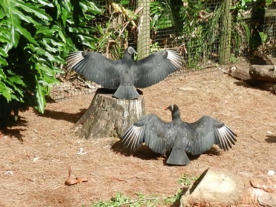 black vultures picture of brevard zoo melbourne tripadvisor. Black Bedroom Furniture Sets. Home Design Ideas