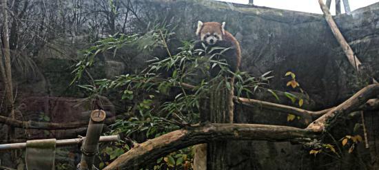 Greensboro, Carolina del Norte: My favorite animal there, the Red Panda!