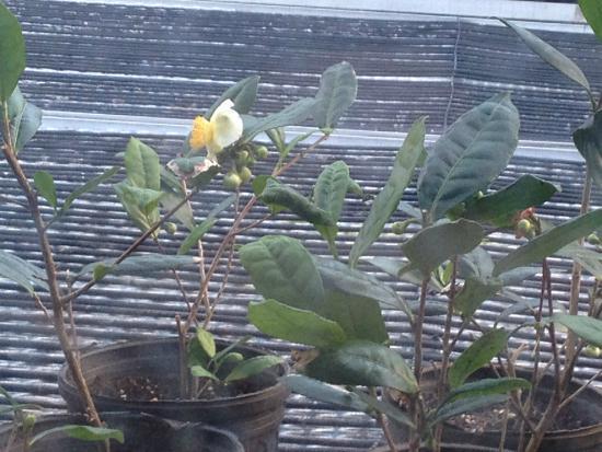 Wadmalaw Island, Carolina Selatan: Young tea plant in bloom