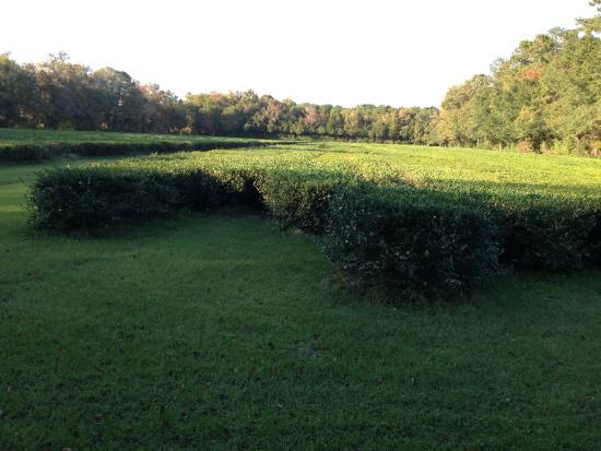 Wadmalaw Island, Carolina Selatan: Tea fields