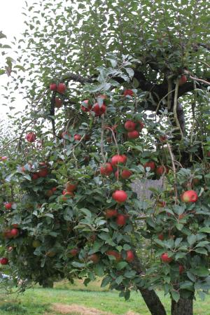 Spruce Pine, North Carolina: apple tree