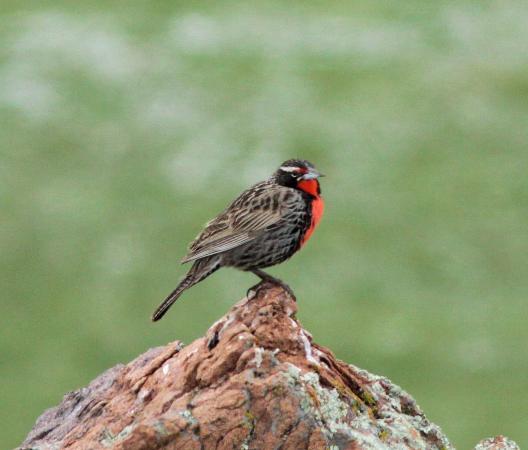 Estancia Rancho 'e Cuero: Wildlife: meadowlark