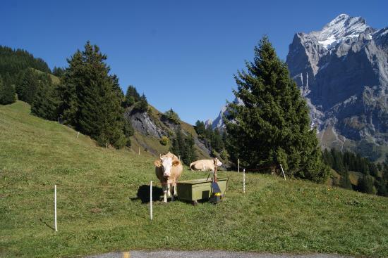 Гриндельвальд, Швейцария: Cows at the back of the restaurant at Bolt