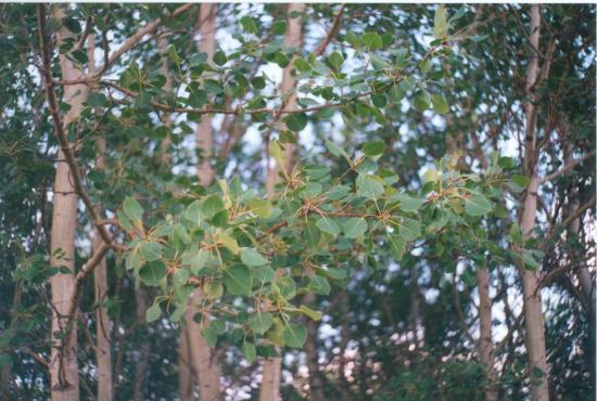 Гранд-Прери, Канада: Aspen treess