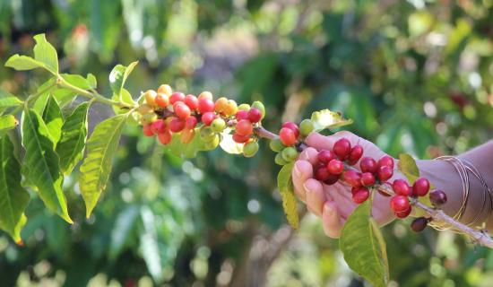 Wirui Estate Coffee Plantation