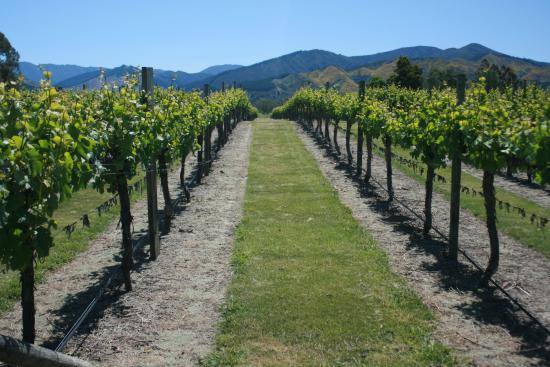 Marlborough Wine Tours : Grapevines