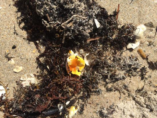 Surf Rider Resort: Hatched Sea Turtle shell on the beach