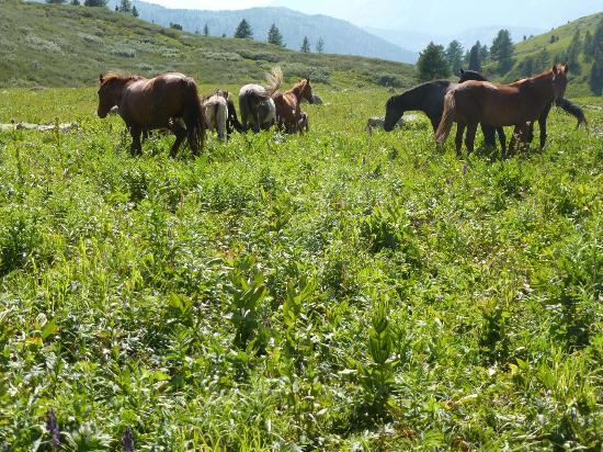Stadium Altai: Pferde allerortens im Altai