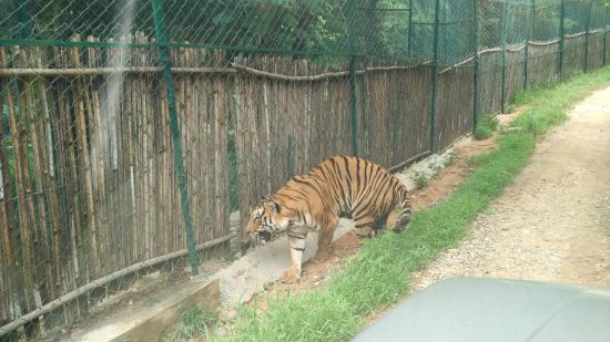 Tiger Roaming freely - Picture of Bannerghatta Biological