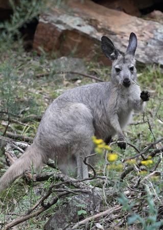 Wilmington, Avustralya: Grey kangaroo in the gorges