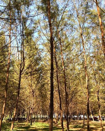 lamaru beach pine trees