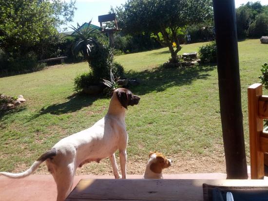 Addo, Güney Afrika: Twee van de honden