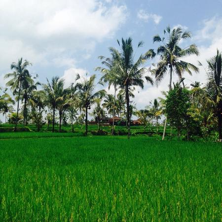 Bali Countryside Cycling Tour: 田んぼ