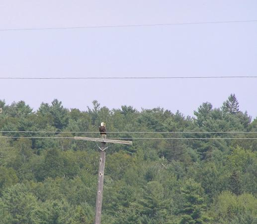 Baileyville, ME: An eagle on one of the nesting platforms