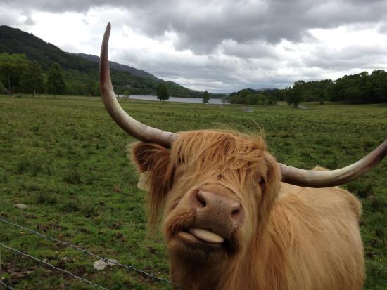 Hairy coo picture of the hairy coo free scottish for Www coo