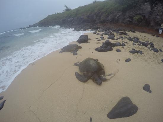 Paia, HI: turtles