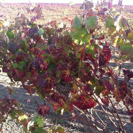 Napa Valley, CA: Fall Colors @ Cuvaison Winery
