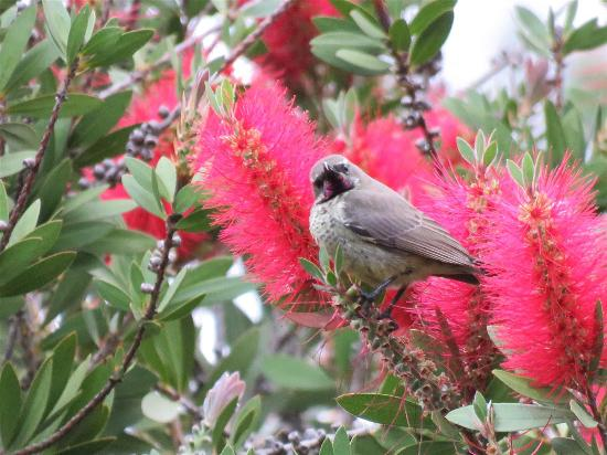 Chase Guest House: Sunbird in the bottlebrush tree