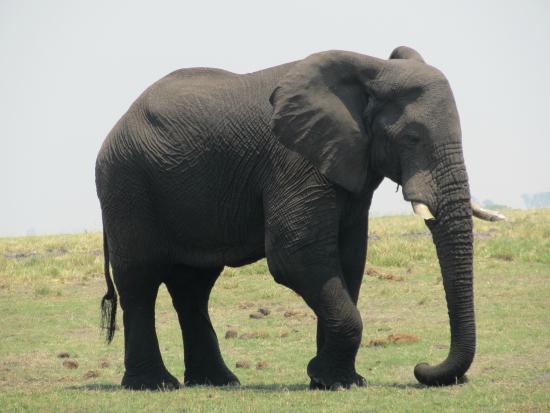 Kazungula, Zambia: African Elephant