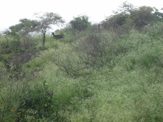 Mudumalai, Индия: A lone Sambar