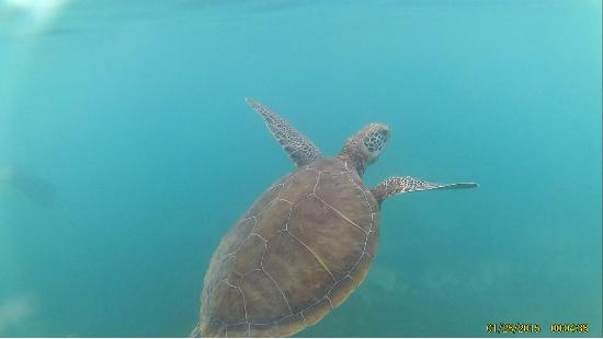 Pezcaribe Ocean Adventure Tours -Day Tours: One of the turtles we saw on the tour.