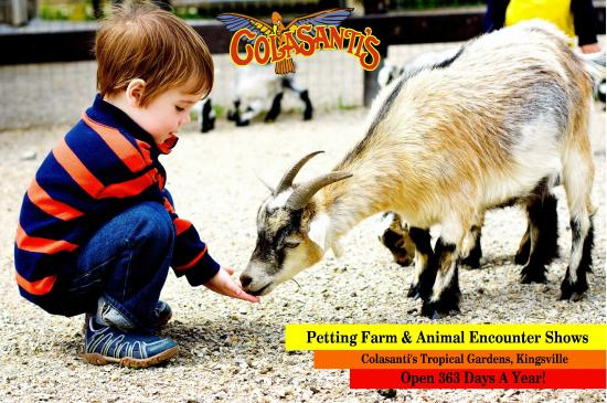 Kingsville, Kanada: Feed one of our pygmy goats.  Colasanti's petting farm is open 363 days a year!