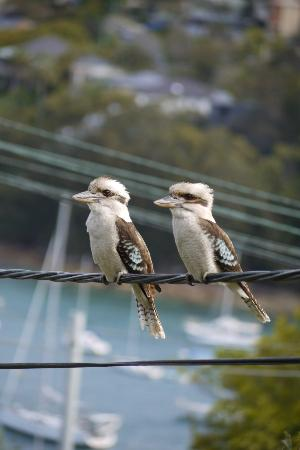 Fairlight, Australia: Regular garden visitors