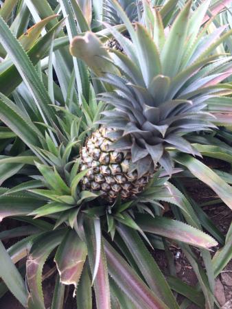 Marama Tours : Pineapple farm