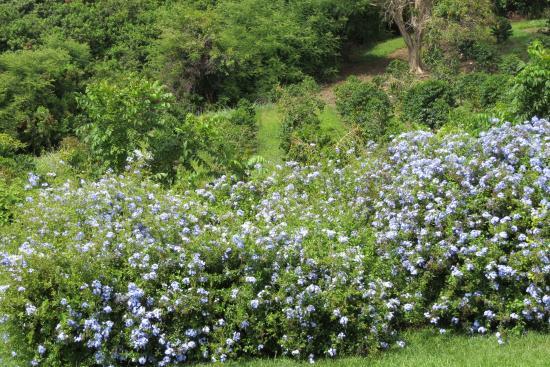 Holualoa, HI: Flowering Bush