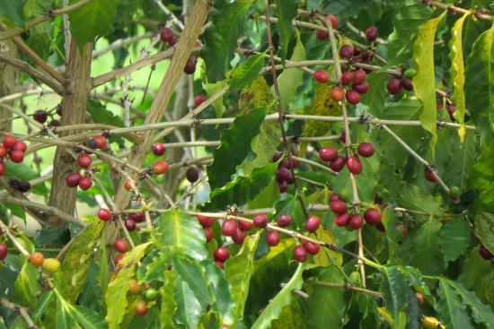 Holualoa, Hawaje: Coffee Tree