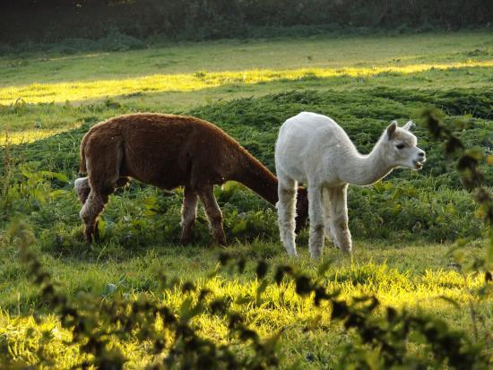 Sithney, UK: Alpacas - lovely grounds!