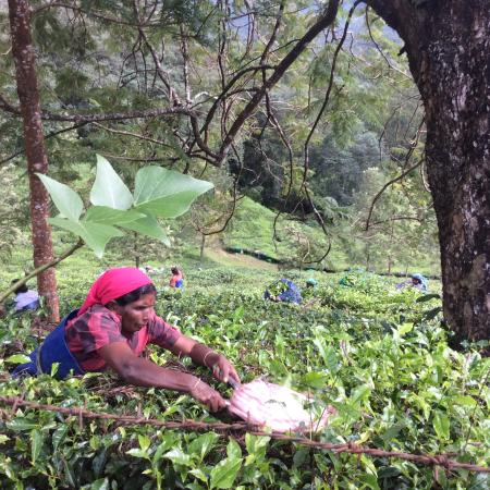 Windermere Estate: Tea Pickers