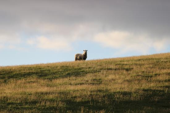 Wedderburn, Nueva Zelanda: sheep on guard