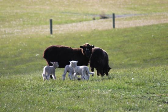 Wedderburn, Nueva Zelanda: Black sheep are found here