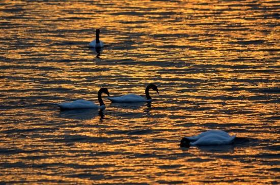 Kau Patagonia: Swans met while walking 200m from hotel