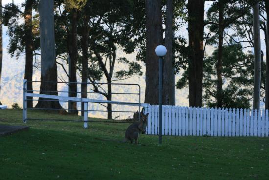 Mount Tamborine, أستراليا: Wallaby on the back lawn