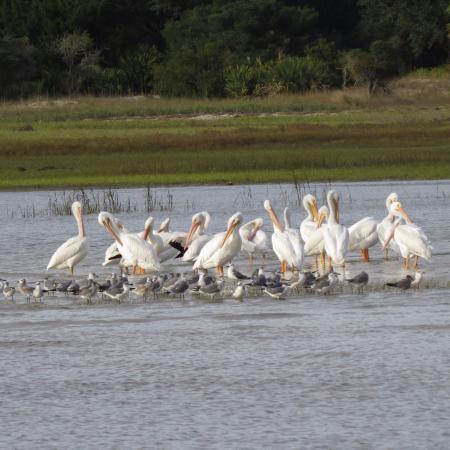 Fernandina Beach, FL: White Pelicans