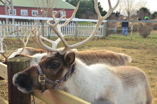 Rantoul, IL: One of many reindeer at the ranch