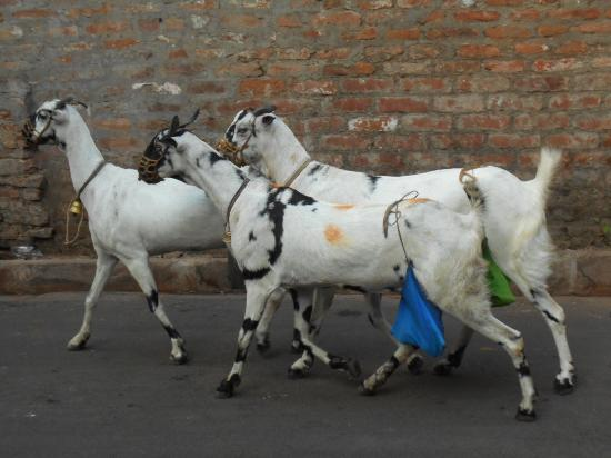 Calcutta Photo Tours : Mobile Goat Milk Delivery...