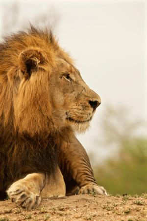 Waterbuck Game Lodge: Lion looking at his kingdom