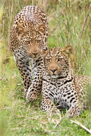 Waterbuck Game Lodge: Leopard brothers