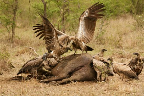Waterbuck Game Lodge: Vultures on a buffalo carcass