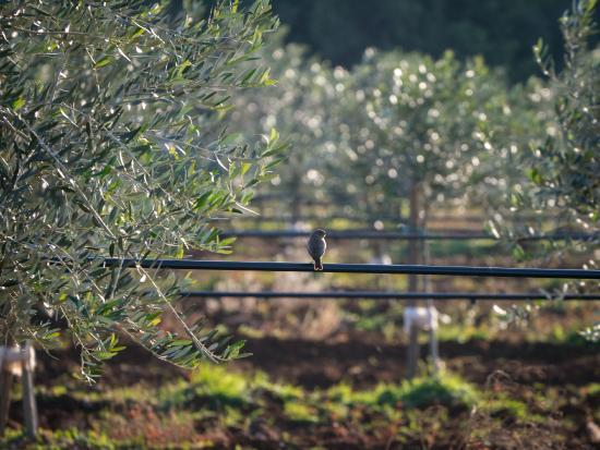 Cadenela Organic Extra Virgin Olive Oil