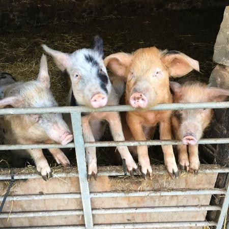 Petrockstowe, UK: Piggies!