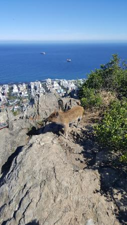 Kersefontein Guest Farm: Kelly the urban pig on the lion's head rump above Fresnaye