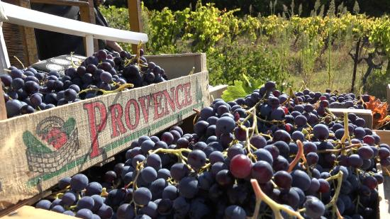 Wine in Provence Tours: Provence Grapes