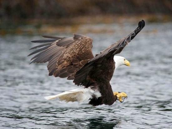 Bayfield, CO: Eagle in flight