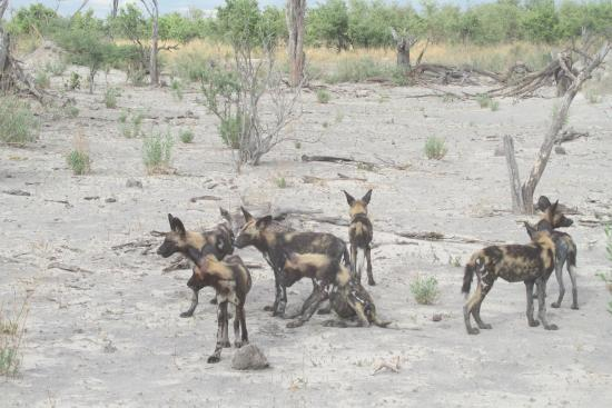 Chitabe Lediba Camp : We ran with the Wild Dogs before they settled.